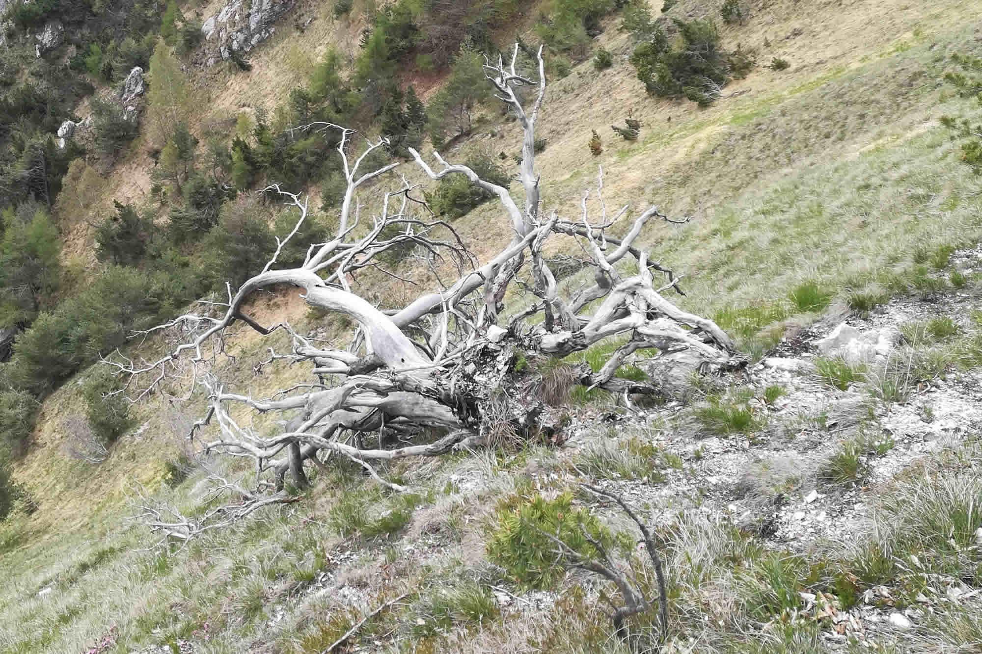 Scheletro di un albero secco accasciato sul pendio verso il lago
